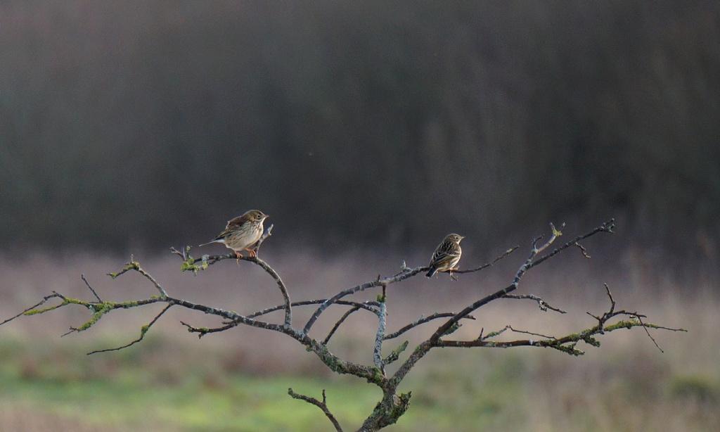 [Ouvert] FIL - Oiseaux. Pipitm13