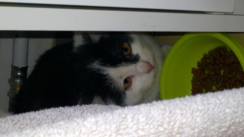 MACHA, très belle chatte junior de 8 mois, noire et blanche Wp_20115