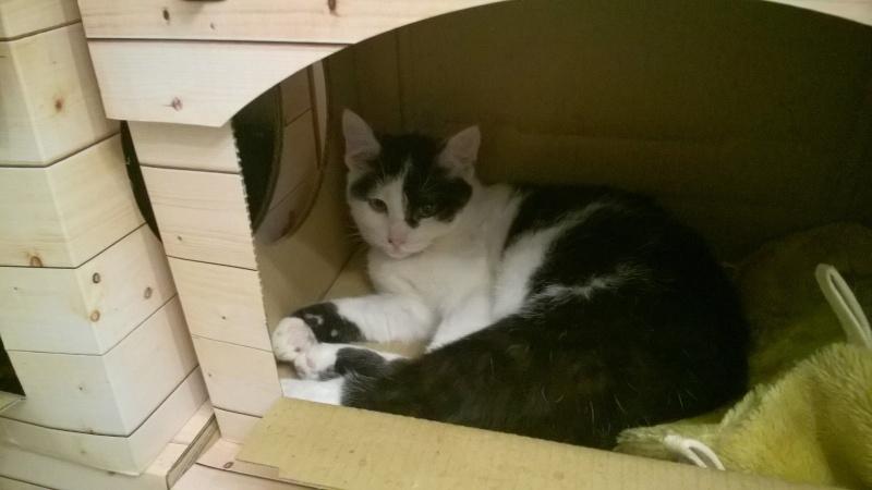 MACHA, très belle chatte junior de 8 mois, noire et blanche Wp_20119