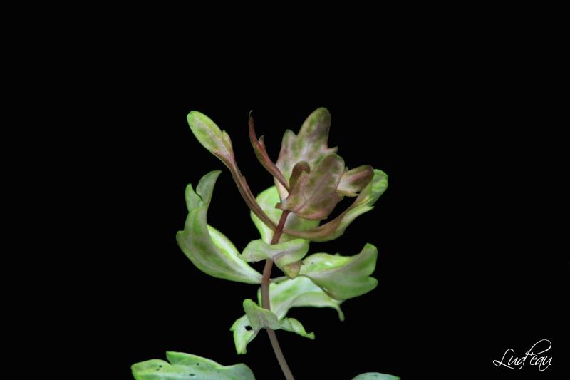 Ma passion pour les plantes aquatiques! - Page 6 Shiner11