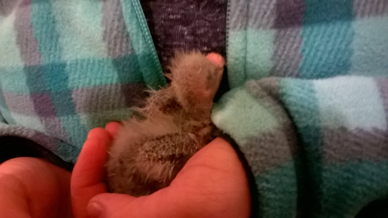 naissance kakariki besoin de conseil Wp_20111