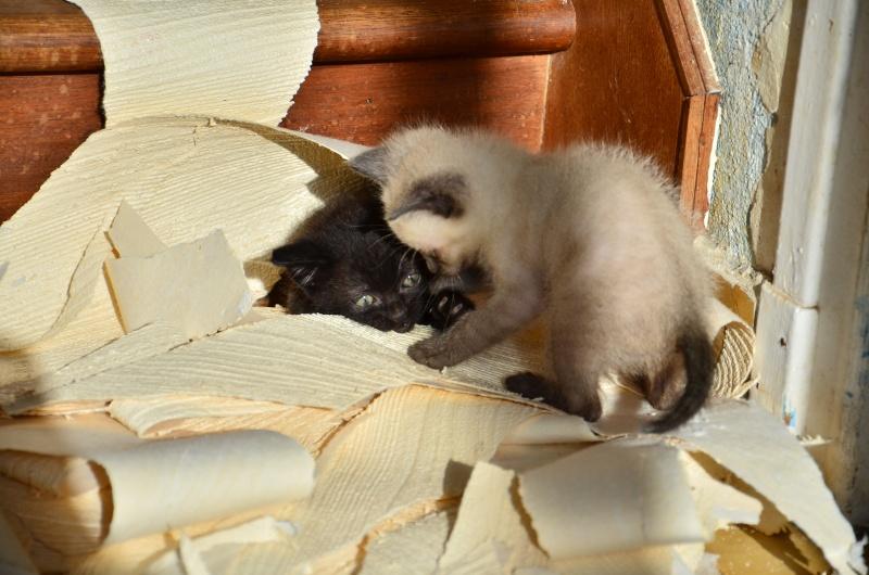 Lorette-chatonne noire et blanche-née le 10/10/2015 Dsc_7014