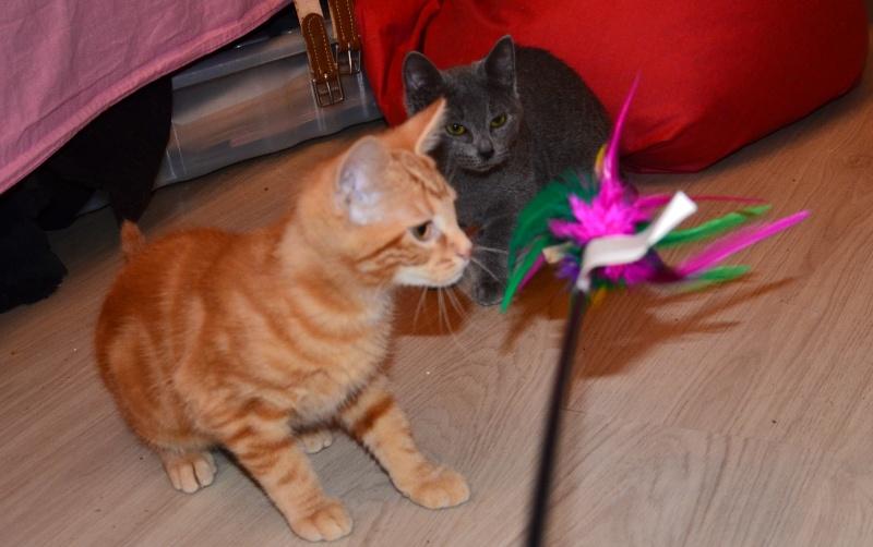 LECHAT - chaton européen roux tigré - né le 24/09/2015 Dsc_7112