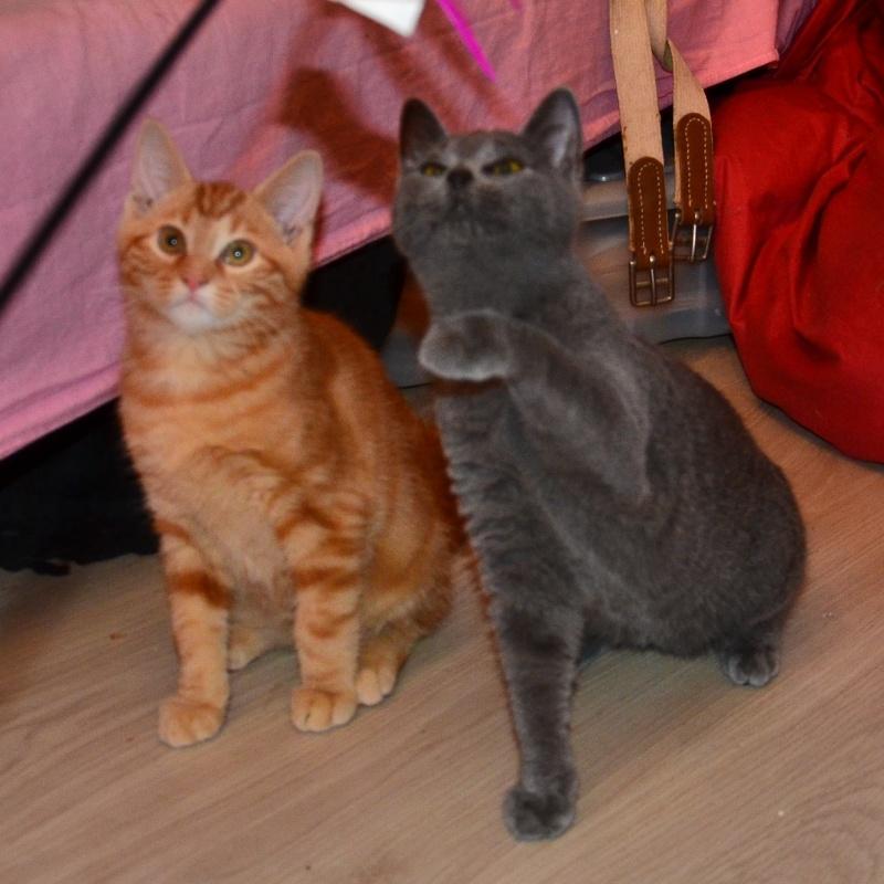 LECHAT - chaton européen roux tigré - né le 24/09/2015 Dsc_7113