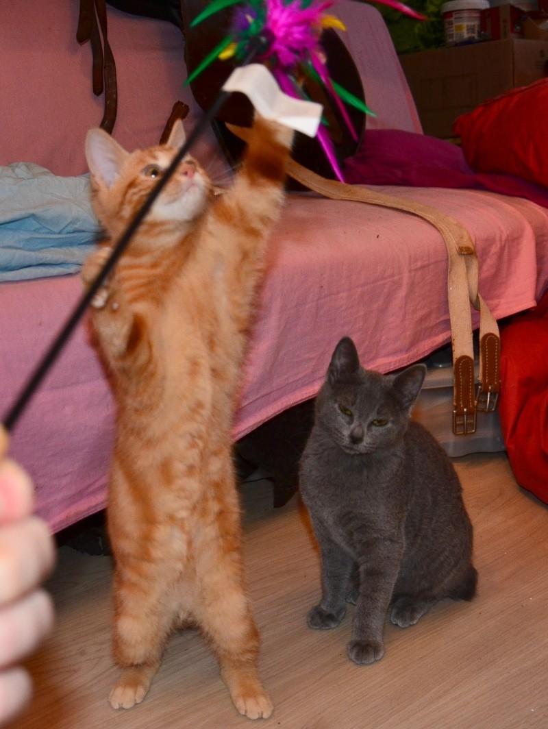 LECHAT - chaton européen roux tigré - né le 24/09/2015 Dsc_7114