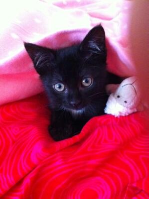 Lorette-chatonne noire et blanche-née le 10/10/2015 Img_3612