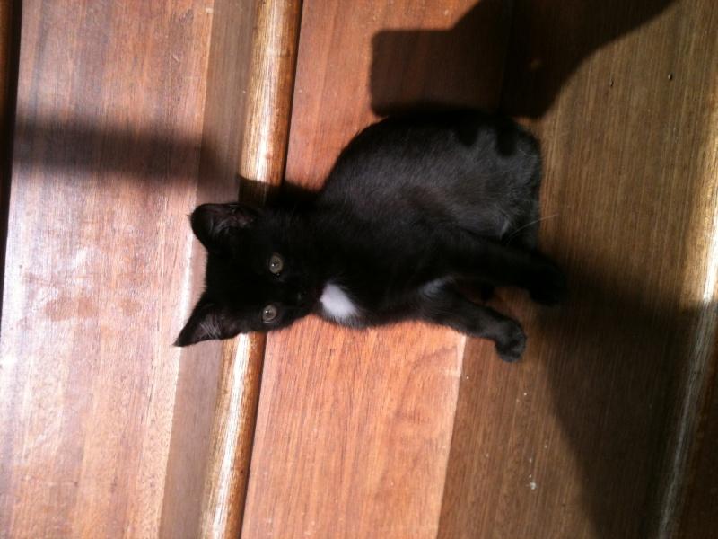 Lorette-chatonne noire et blanche-née le 10/10/2015 Photo110
