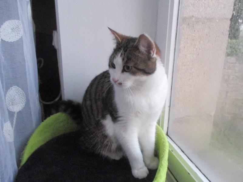 lucious - Lucious, jeune chat mâle de type européen, tabby fauve et blanc, né en Juillet 2015 Img_4121