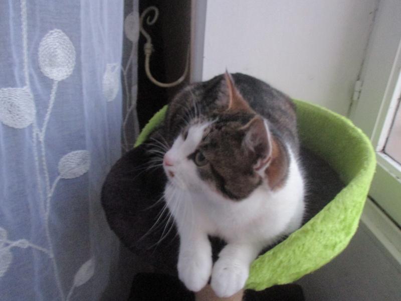 lucious - Lucious, jeune chat mâle de type européen, tabby fauve et blanc, né en Juillet 2015 Img_4123