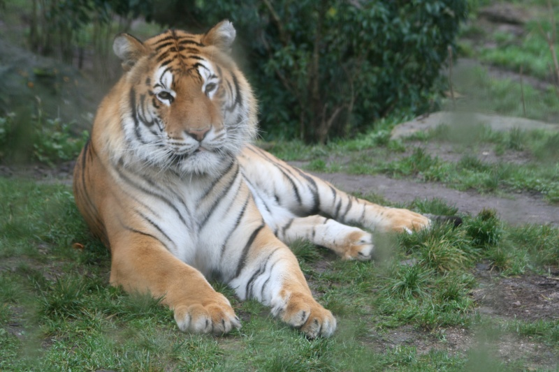 les tigres 05010