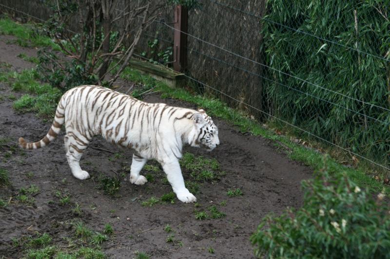 les tigres 06110