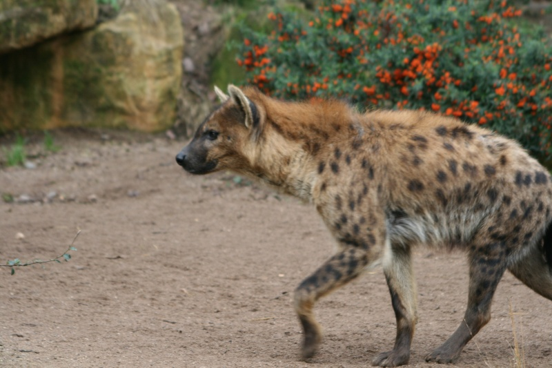 les hyenes 06410