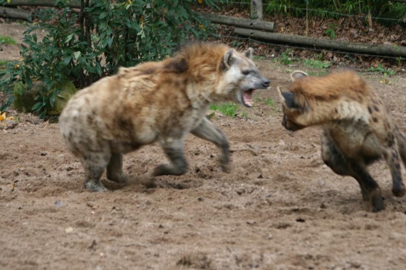 les hyenes 06510