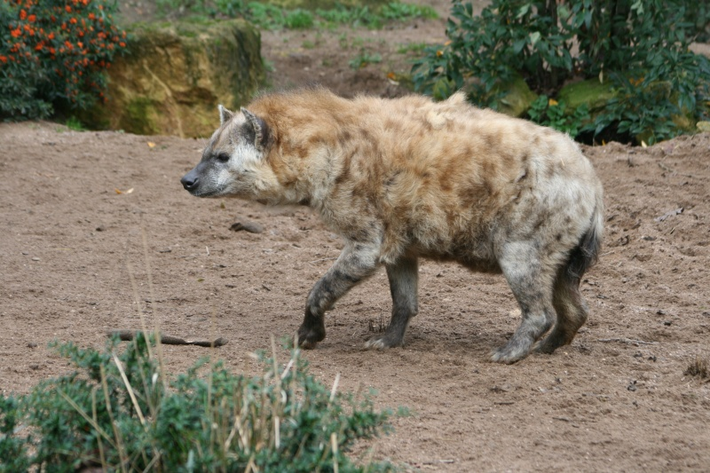 les hyenes 06610