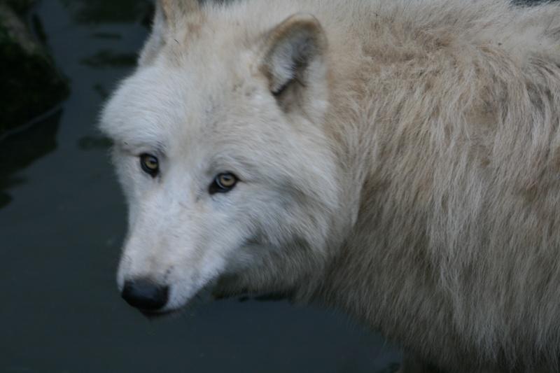 les loups d'amneville 14710
