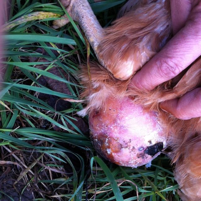 Poule avec une grosse boule ... Image14