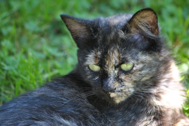 Kitty Cat, née le 1er août 2010 STATUT :CHAT LIBRE Dsc_0010