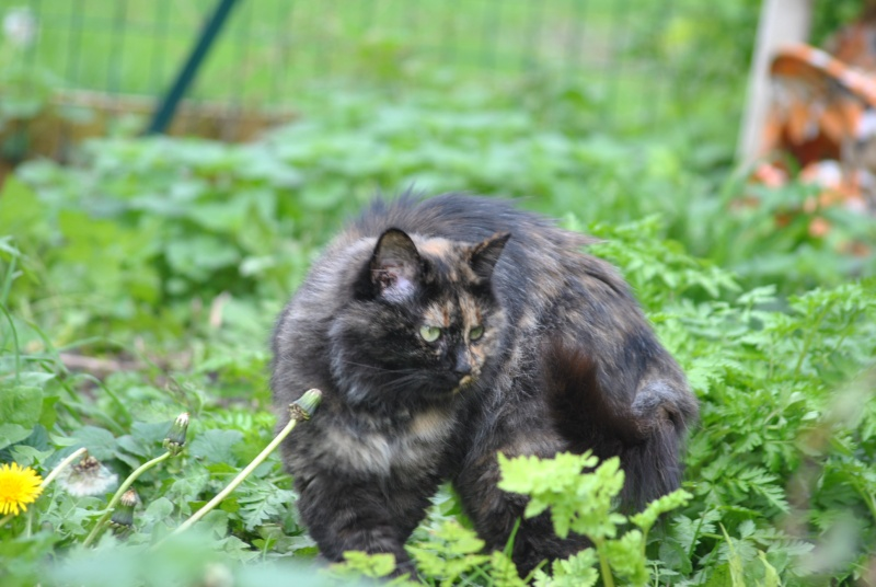 Kitty Cat, née le 1er août 2010 STATUT :CHAT LIBRE Dsc_0014
