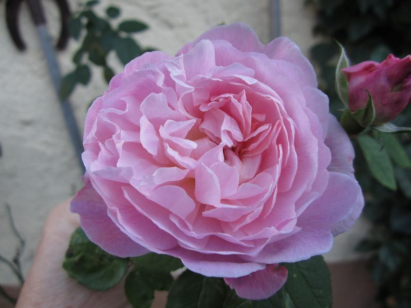 """Rosen - ein Thread für die """"Königin"""" - Seite 9 Img_1613"""