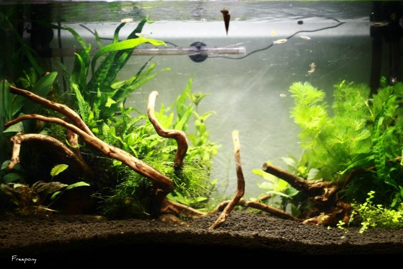 72 litres planté, Colisa - Corydoras Img_2713