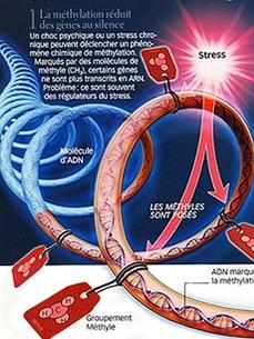Stress méthylation telomère adn