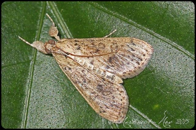 [Crambidae] Papillon Cuba 3 Img_1715
