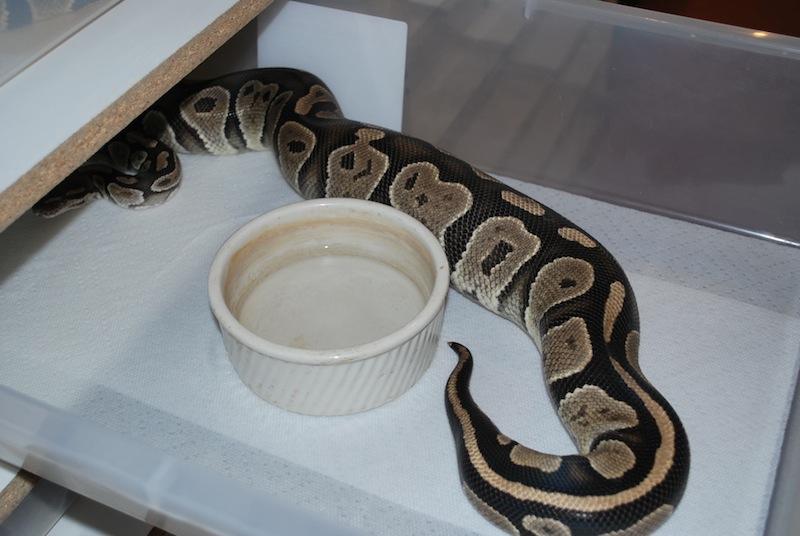 Fréquence nourrissage python reguis  01310