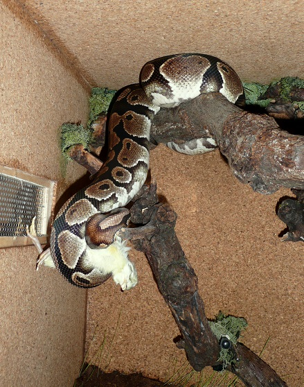 Fréquence nourrissage python reguis  12610