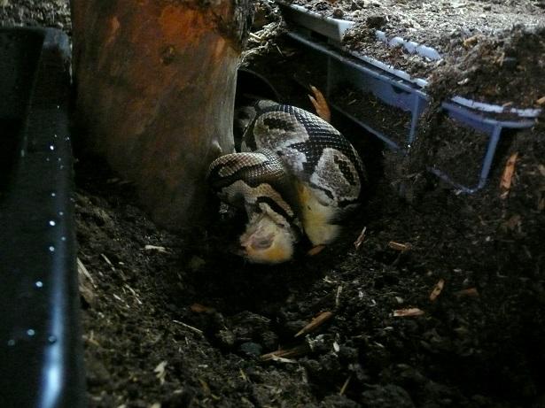 Fréquence nourrissage python reguis  12710