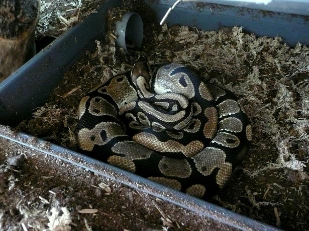 Fréquence nourrissage python reguis  Python10