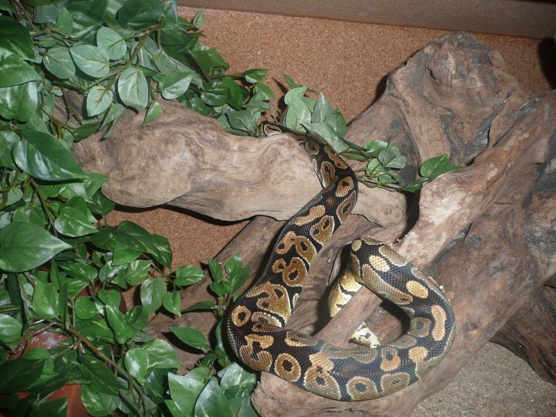 Fréquence nourrissage python reguis  Regius10