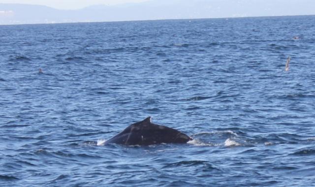 [Photos] Rencontre avec les cétacés de Monterey Bay Img_7911