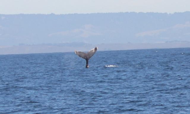 [Photos] Rencontre avec les cétacés de Monterey Bay Img_8011
