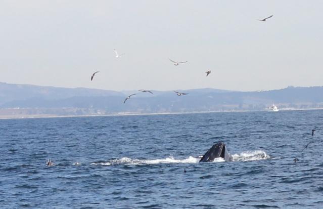 [Photos] Rencontre avec les cétacés de Monterey Bay Img_8013