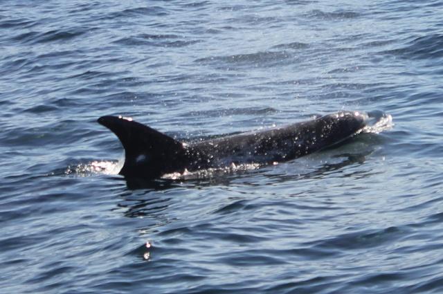 [Photos] Rencontre avec les cétacés de Monterey Bay Img_8017