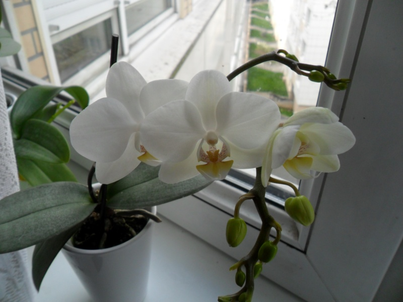 Mes orchidees - Page 2 Sam_4422