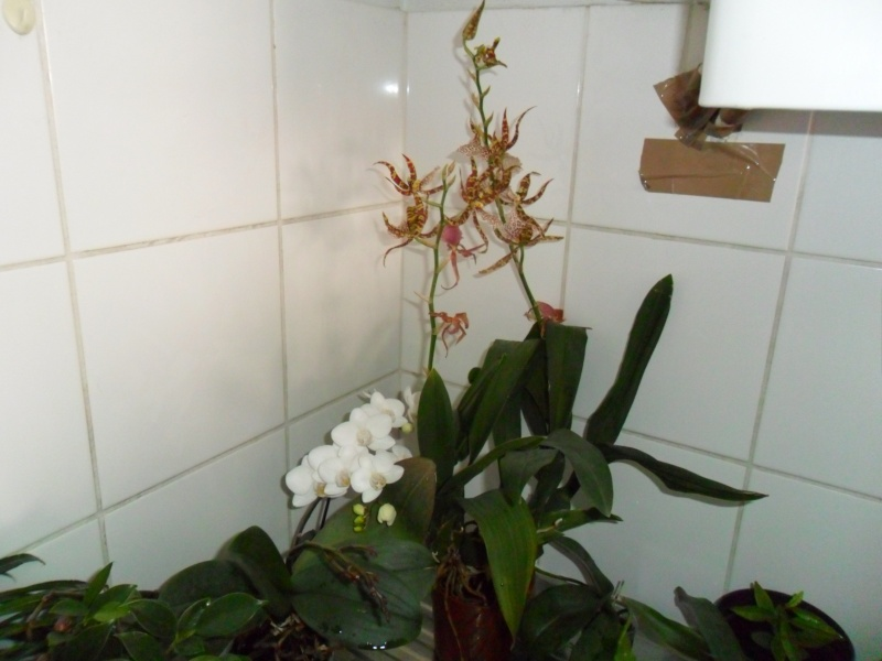 Mes orchidees - Page 2 Sam_4729