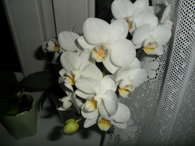 Mes orchidees - Page 2 Sam_4835