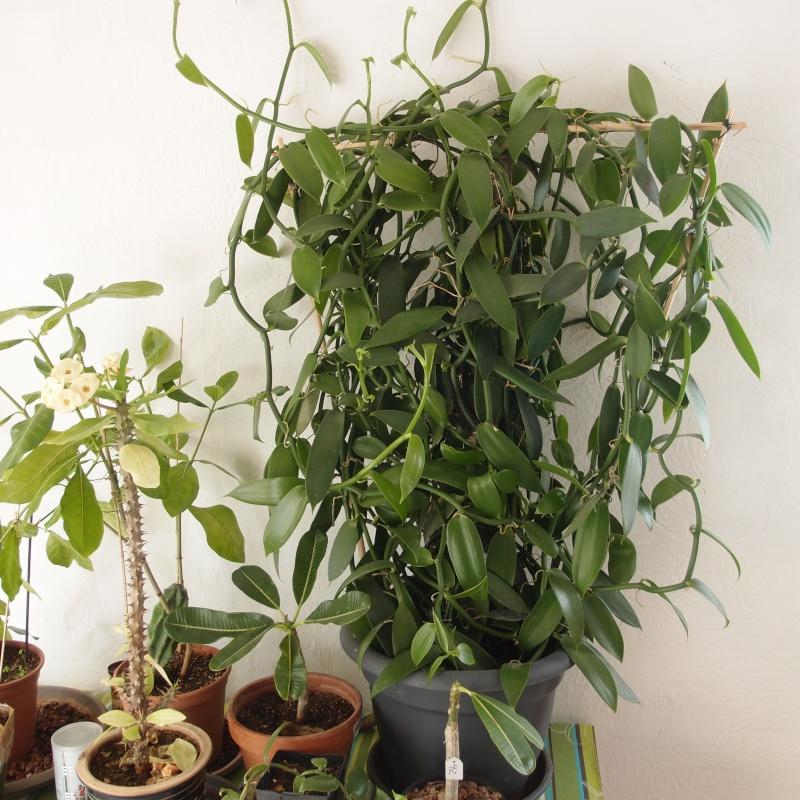 Culture et Entretien de la Vanilla Planifolia - Page 4 P1120213