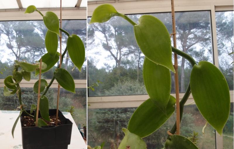Culture et Entretien de la Vanilla Planifolia - Page 4 Vanill10