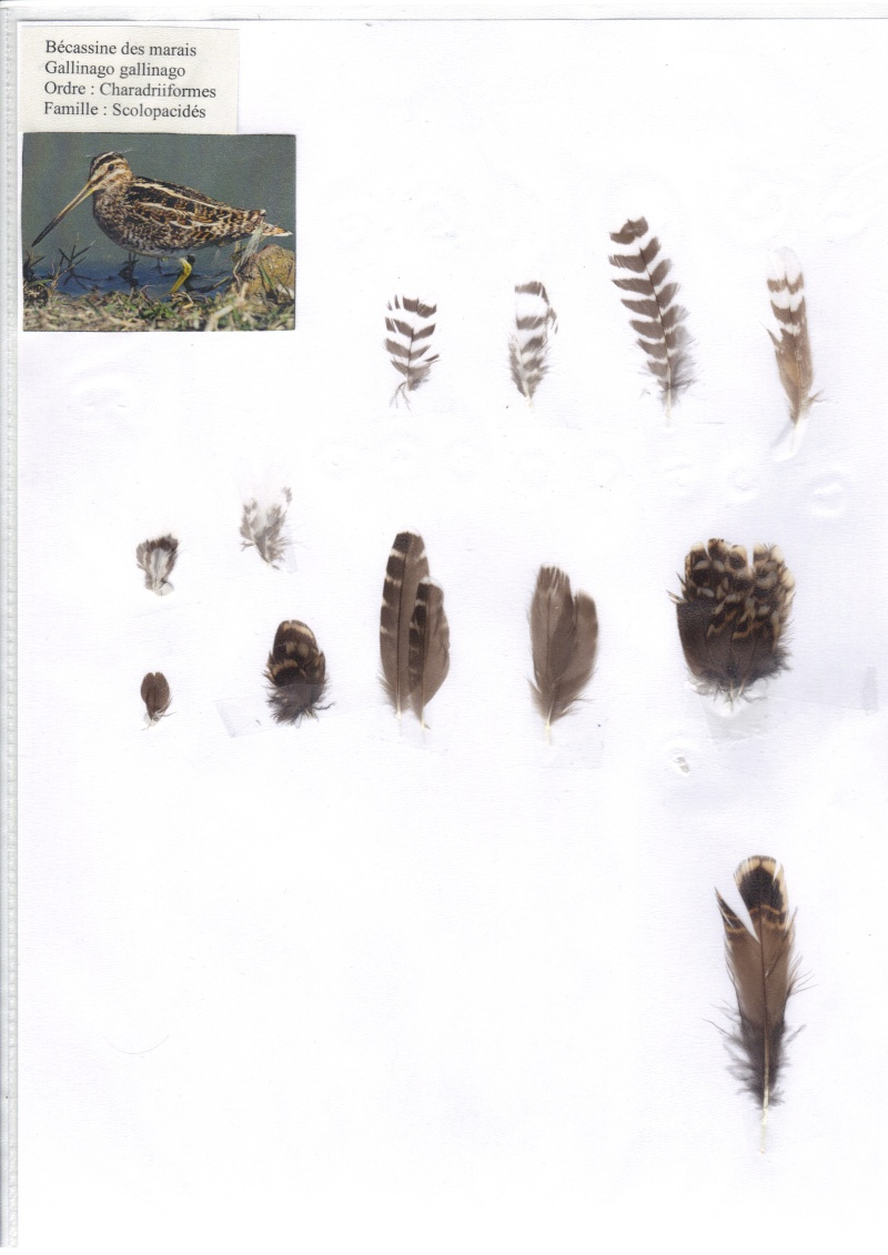 Bécassine des marais Bycass10