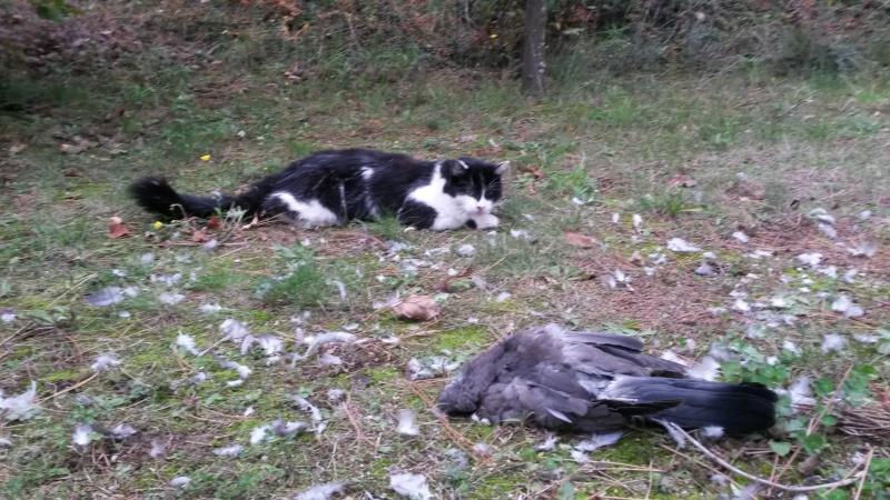 Pacha, mâle type européen angora noir et blanc né 15/05/2014 - Page 3 20151011