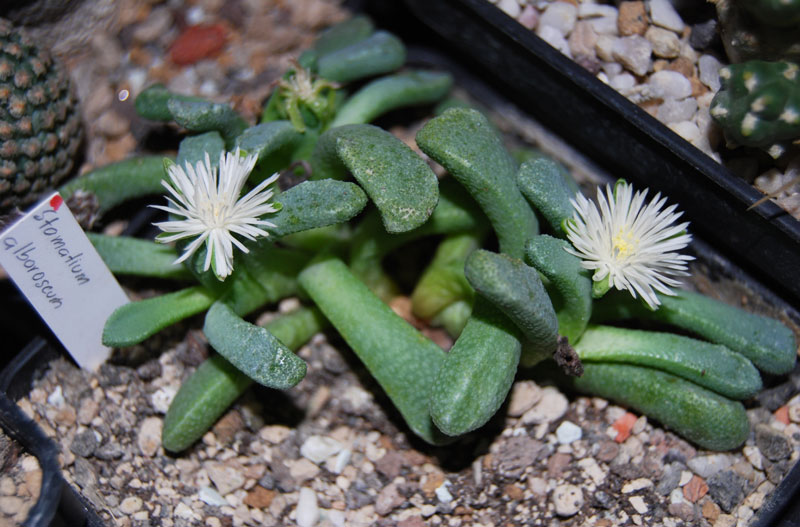 Stomatium alboroseum Dsc_3034