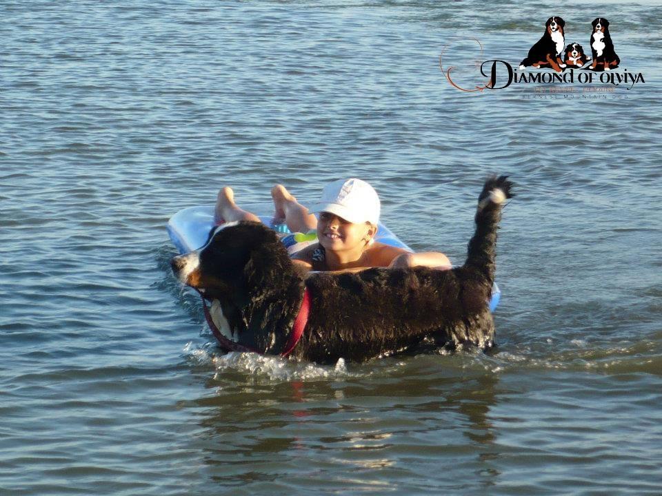 Бернский зеннненхунд - собака с сердцем льва и душой человека 12270010