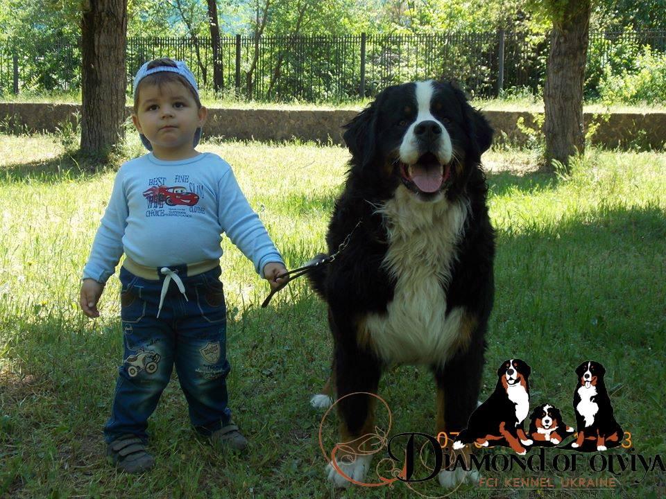 Бернский зеннненхунд - собака с сердцем льва и душой человека 12270210