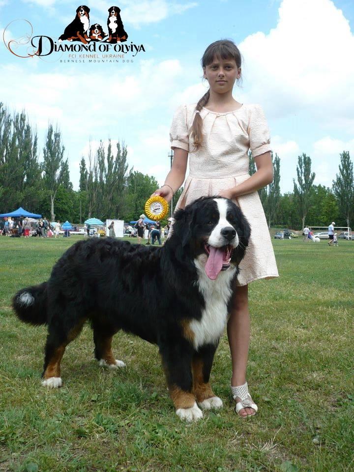 Бернский зеннненхунд - собака с сердцем льва и душой человека 12270410