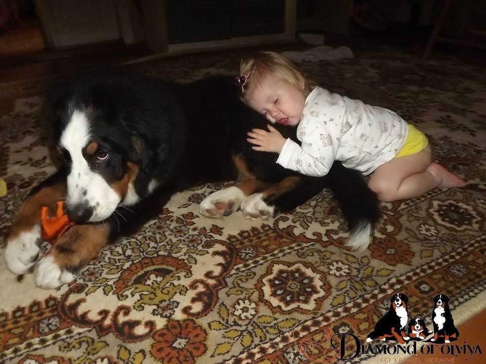 Бернский зеннненхунд - собака с сердцем льва и душой человека 12272610
