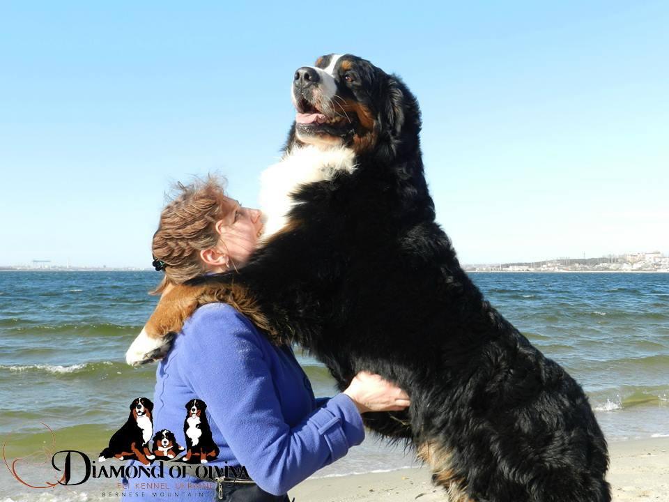 Бернский зеннненхунд - собака с сердцем льва и душой человека 12277010