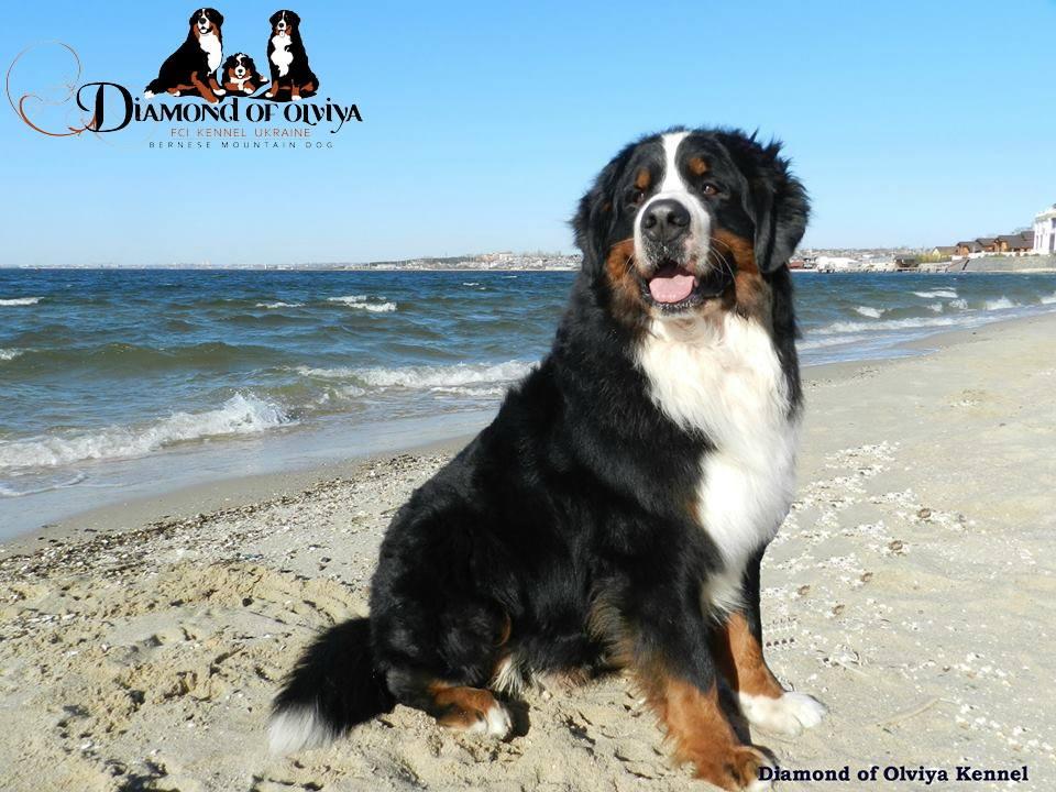 Бернский зеннненхунд - собака с сердцем льва и душой человека 12277310