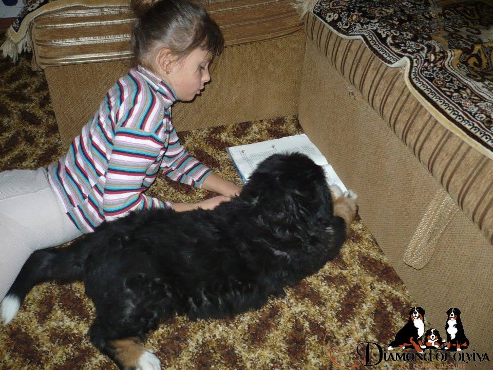 Бернский зеннненхунд - собака с сердцем льва и душой человека 12278110